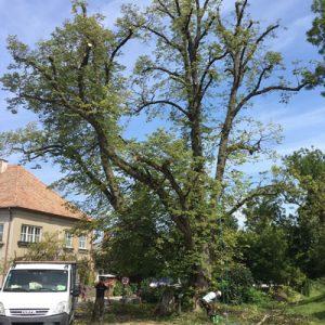 Baumsanierung Kronensicherungsschnitt